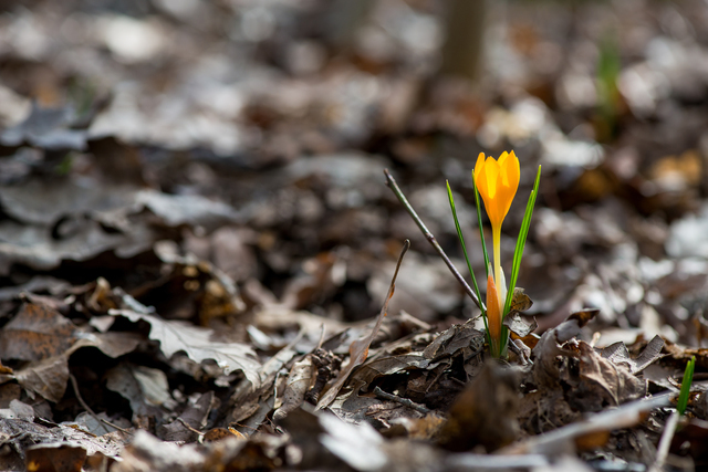 クロッカスの咲き始め