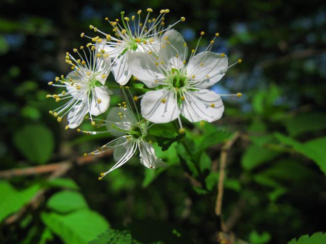 深山桜(ミヤマザクラ)