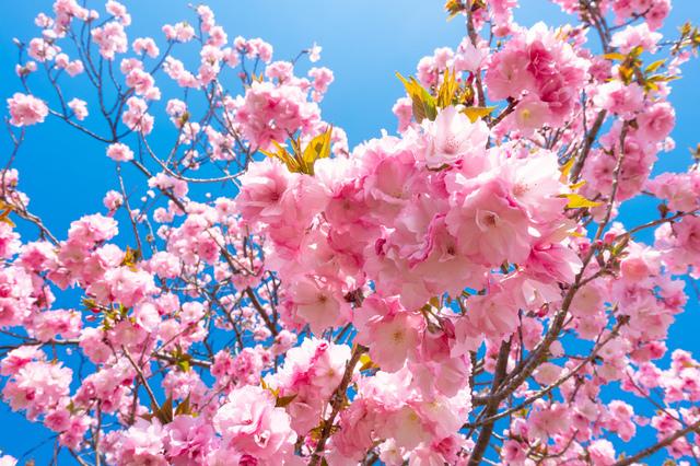 八重桜や菊咲きのさくら