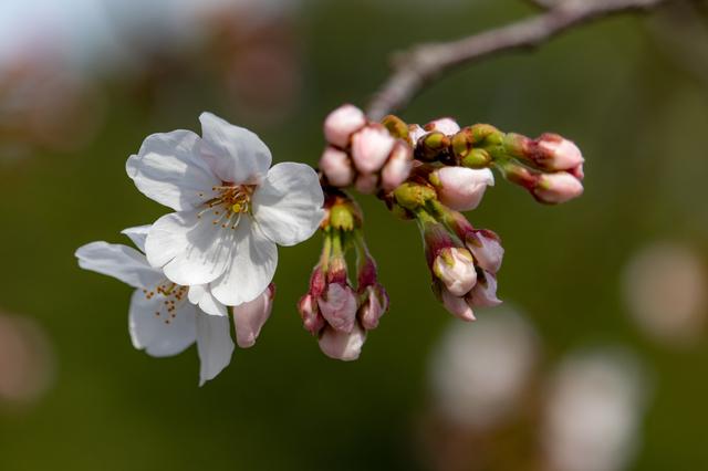 さくら(桜)