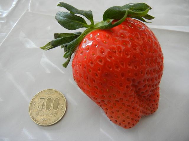 「いちご品評会」のジャンボいちご部門で優勝したいちごの大きさを500円玉と比較
