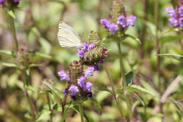 ウツボグサと蝶